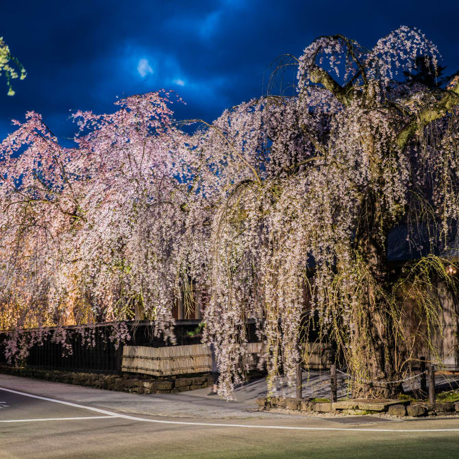 Kakunodate Weeping Cherry Trees